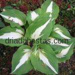 Hosta «Fire and Ice»